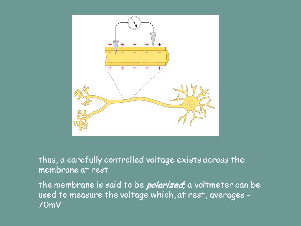 thus, a carefully controlled voltage exists across the membrane at rest the membrane is said to be polarized; a voltmeter can be used to measure the v