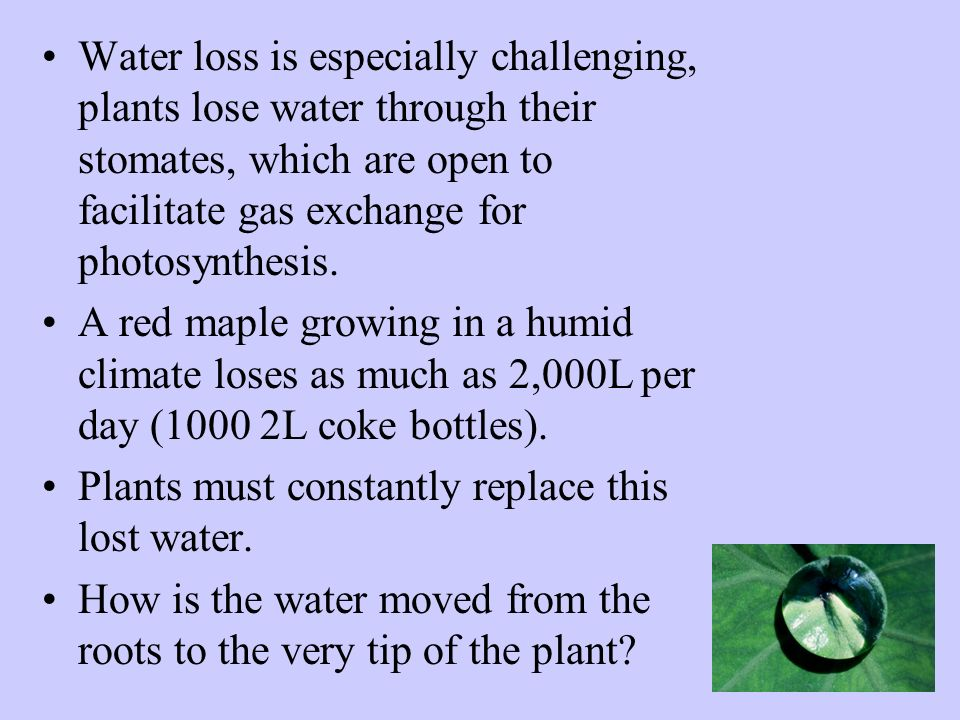 Water loss is especially challenging, plants lose water through their stomates, which are open to facilitate gas exchange for photosynthesis. A red ma