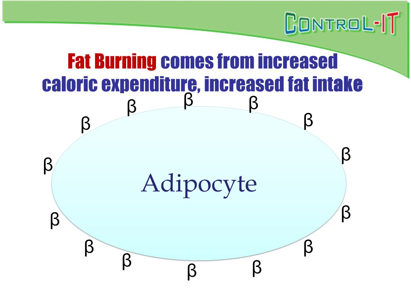 Fat Burning comes from increased caloric expenditure, increased fat intake Adipocyte β β β β β β β β β β β β β β