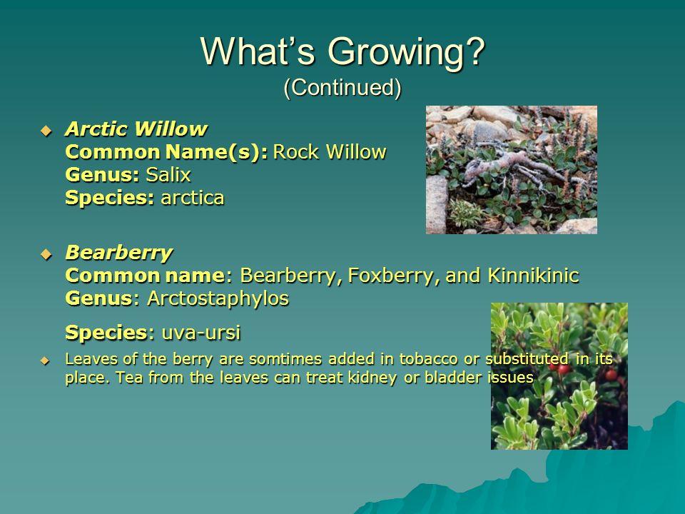 Whats Growing? (Continued) Arctic Willow Common Name(s): Rock Willow Genus: Salix Species: arctica Arctic Willow Common Name(s): Rock Willow Genus: Sa