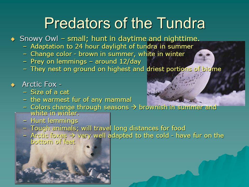 Predators of the Tundra Snowy Owl – small; hunt in daytime and nighttime. Snowy Owl – small; hunt in daytime and nighttime. –Adaptation to 24 hour day