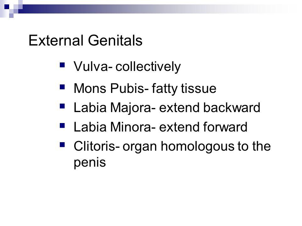 External Genitals Vulva- collectively Mons Pubis- fatty tissue Labia Majora- extend backward Labia Minora- extend forward Clitoris- organ homologous t