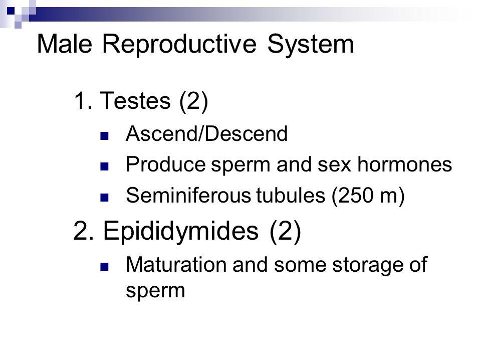 1. Testes (2) Ascend/Descend Produce sperm and sex hormones Seminiferous tubules (250 m) 2. Epididymides (2) Maturation and some storage of sperm
