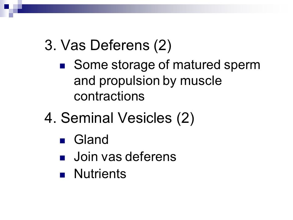 3. Vas Deferens (2) Some storage of matured sperm and propulsion by muscle contractions 4. Seminal Vesicles (2) Gland Join vas deferens Nutrients