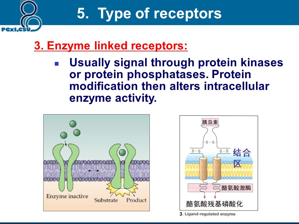 2. G-protein coupled receptors: Signal through trimeric G proteins. The proteins can alter the function of many proteins. 5. Type of receptors