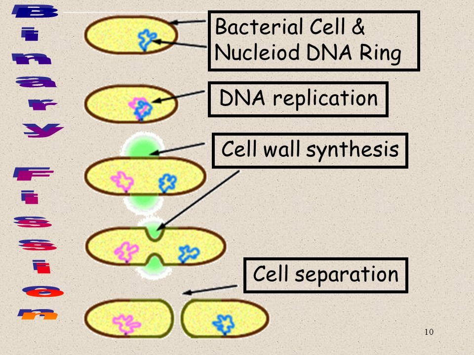 10 Bacterial Cell & Nucleiod DNA Ring DNA replication Cell wall synthesis Cell separation