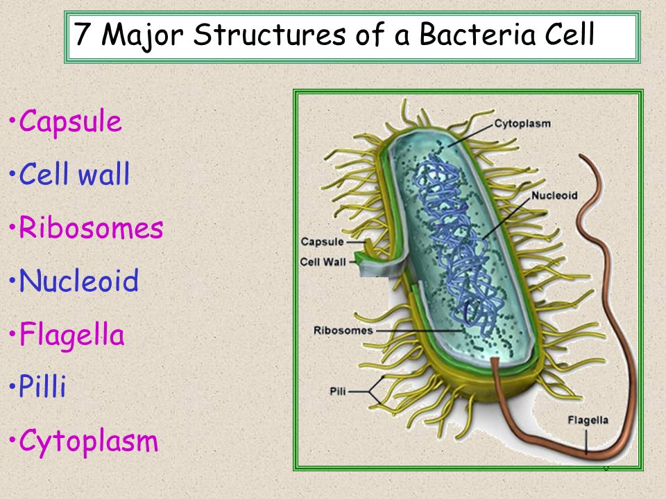 6 7 Major Structures of a Bacteria Cell Capsule Cell wall Ribosomes Nucleoid Flagella Pilli Cytoplasm