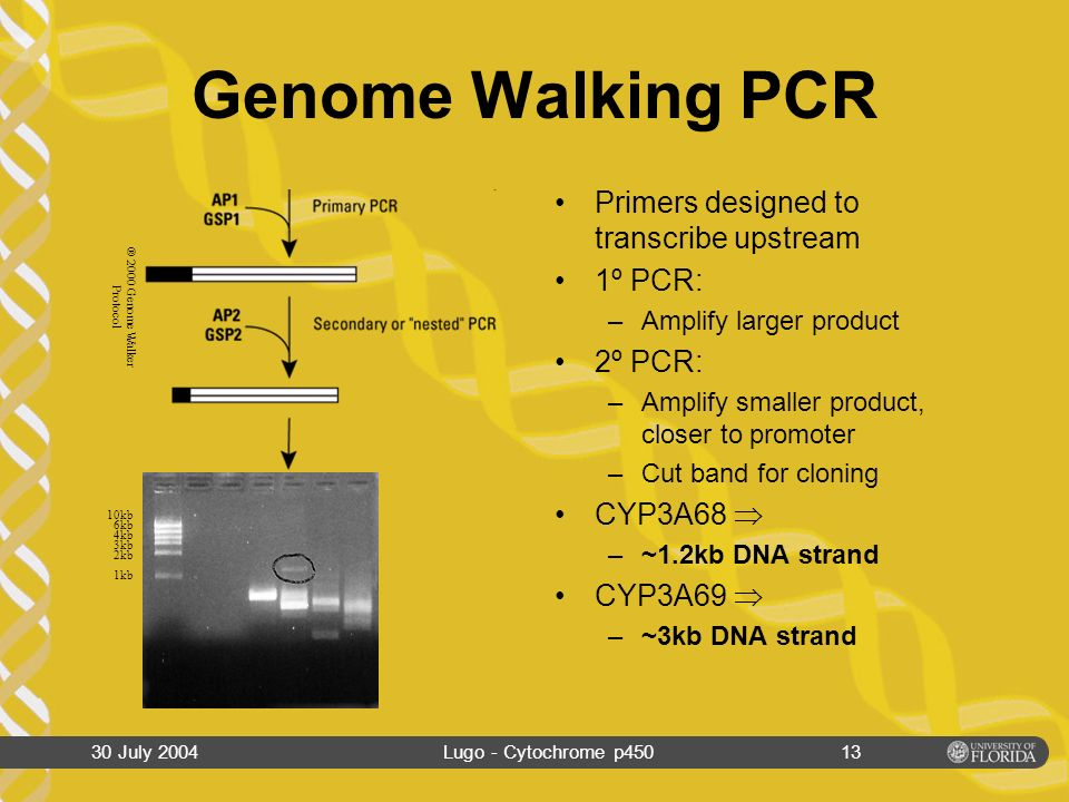 30 July 2004Lugo - Cytochrome p45012 Genome Walking Prep Isolate Genomic DNA from Bass Liver Digest with four different restriction enzymes Ligate the GenomeWalker Adapter to digested DNA UndigestedGenomic DNA Digested Genomic DNA 10kb 6kb 4kb 3kb 2kb 1kb 10kb 6kb 4kb 3kb 2kb 1kb ® 2000 Genome Walker Protocol