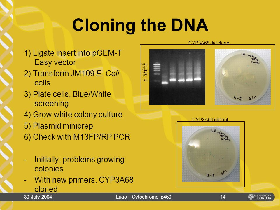 30 July 2004Lugo - Cytochrome p45013 Genome Walking PCR Primers designed to transcribe upstream 1º PCR: –Amplify larger product 2º PCR: –Amplify small