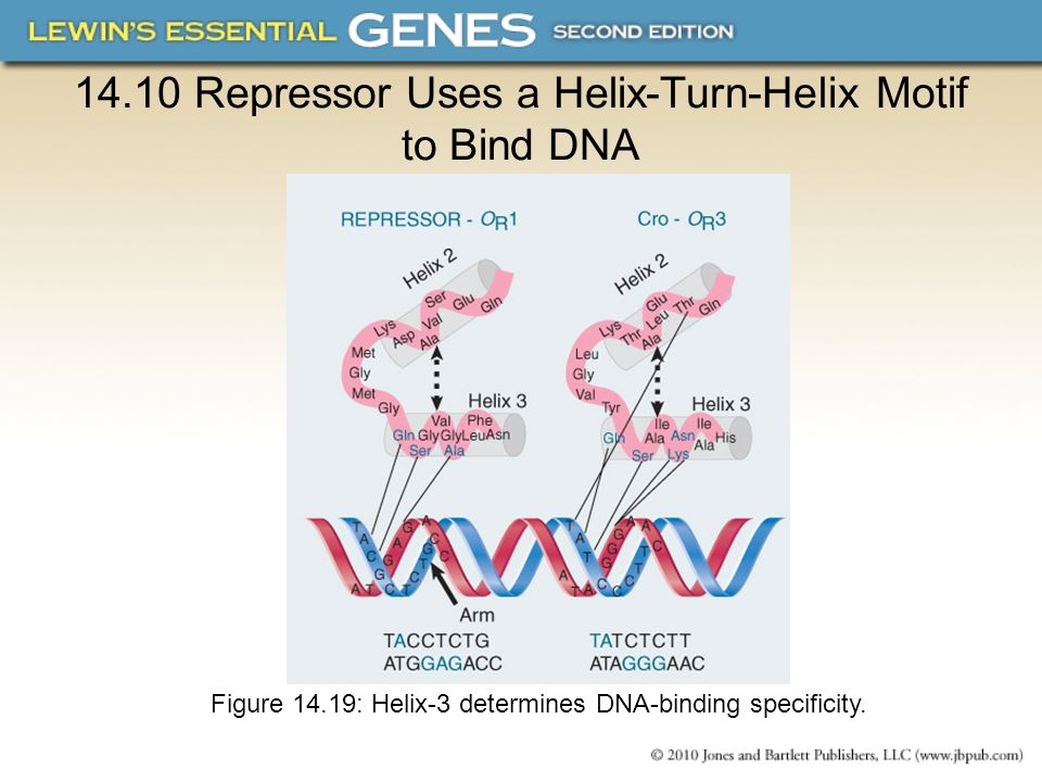 14.10 Repressor Uses a Helix-Turn-Helix Motif to Bind DNA Figure 14.19: Helix-3 determines DNA-binding specificity.