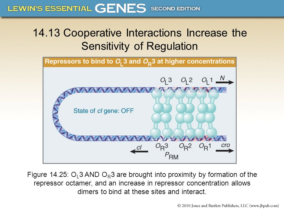 14.13 Cooperative Interactions Increase the Sensitivity of Regulation Figure 14.25: O L 3 AND O R 3 are brought into proximity by formation of the rep