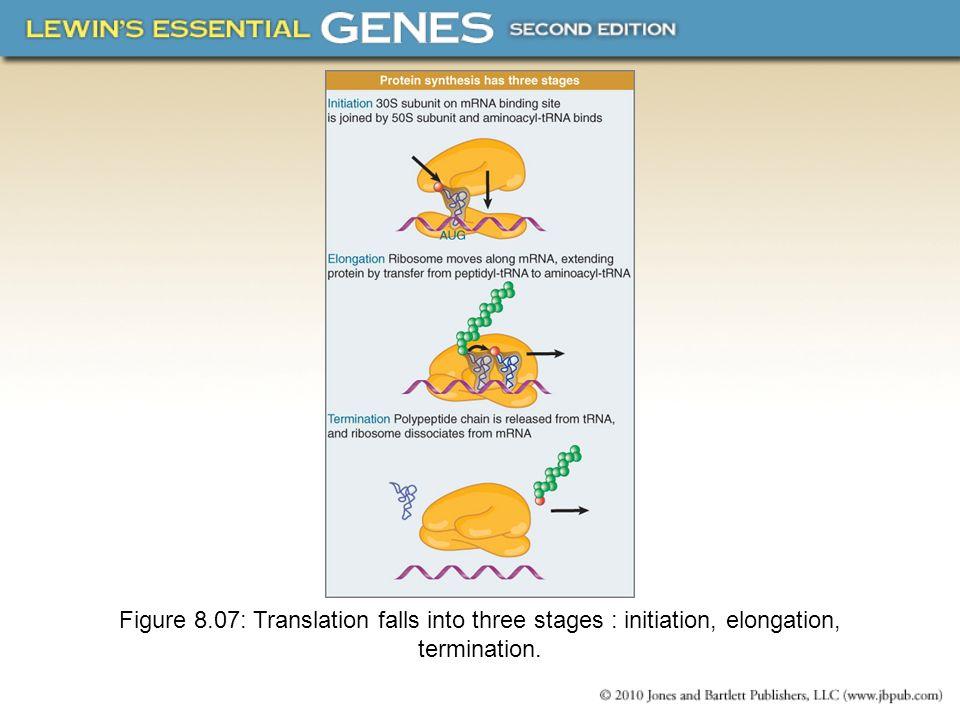 Figure 8.07: Translation falls into three stages : initiation, elongation, termination.