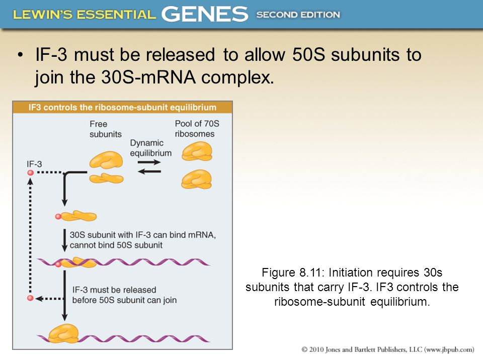 IF-3 must be released to allow 50S subunits to join the 30S-mRNA complex. Figure 8.11: Initiation requires 30s subunits that carry IF-3. IF3 controls