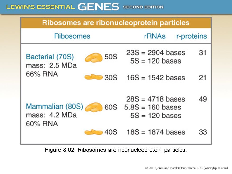 Figure 8.02: Ribosomes are ribonucleoprotein particles.