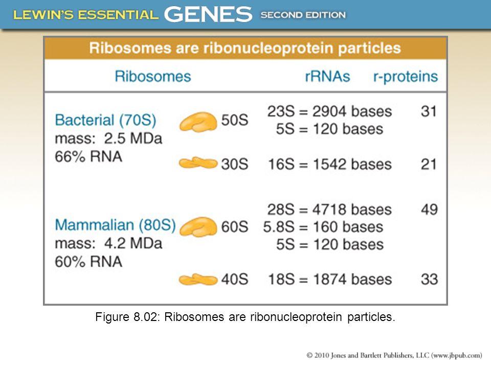 8.14 Ribosomal RNA Pervades Both Ribosomal Subunits Each rRNA has several distinct domains that fold independently.