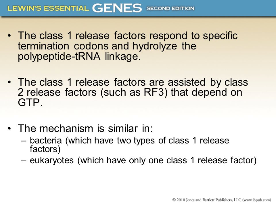 The class 1 release factors respond to specific termination codons and hydrolyze the polypeptide-tRNA linkage. The class 1 release factors are assiste