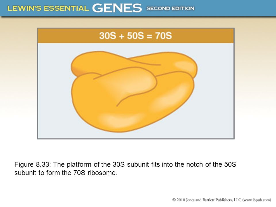 Figure 8.33: The platform of the 30S subunit fits into the notch of the 50S subunit to form the 70S ribosome.