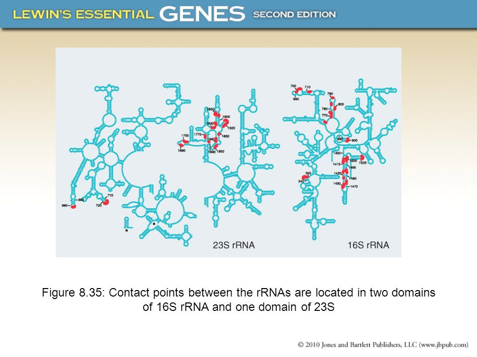 Figure 8.35: Contact points between the rRNAs are located in two domains of 16S rRNA and one domain of 23S