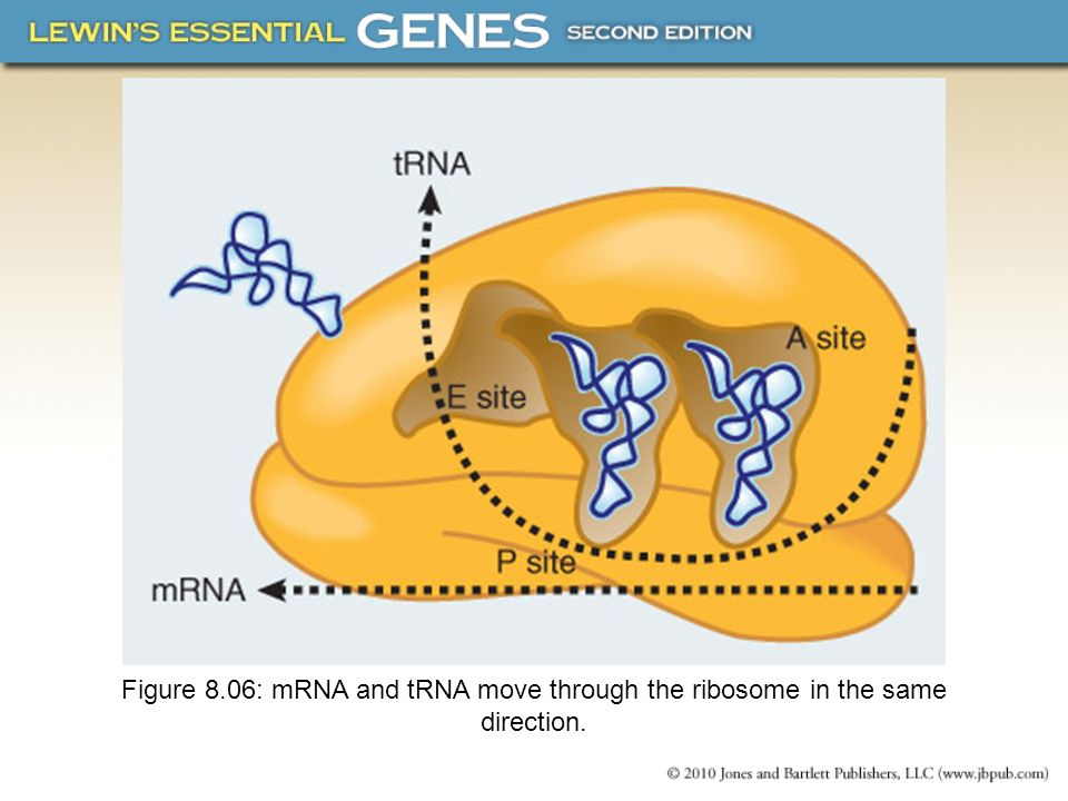 8.15 Ribosomes Have Several Active Centers Interactions involving rRNA are a key part of ribosome function.