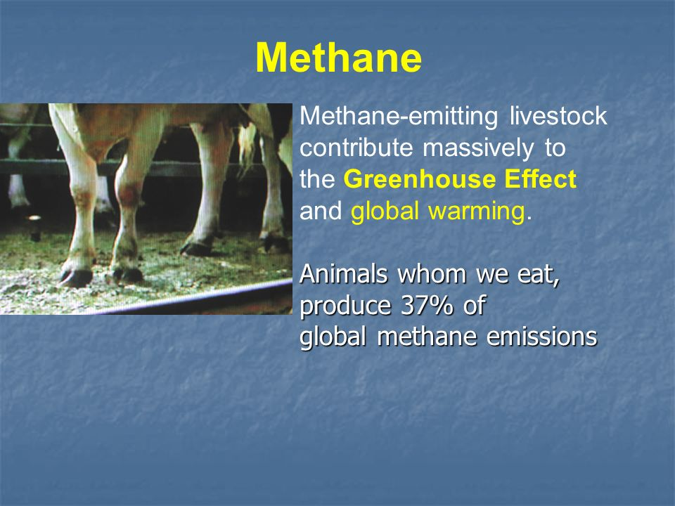 Methane Methane-emitting livestock contribute massively to the Greenhouse Effect and global warming. Animals whom we eat, produce 37% of global methan