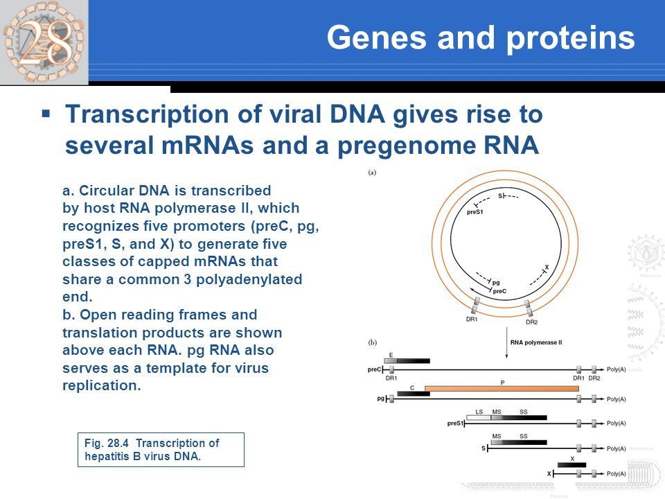 Genes and proteins Transcription of viral DNA gives rise to several mRNAs and a pregenome RNA a. Circular DNA is transcribed by host RNA polymerase II