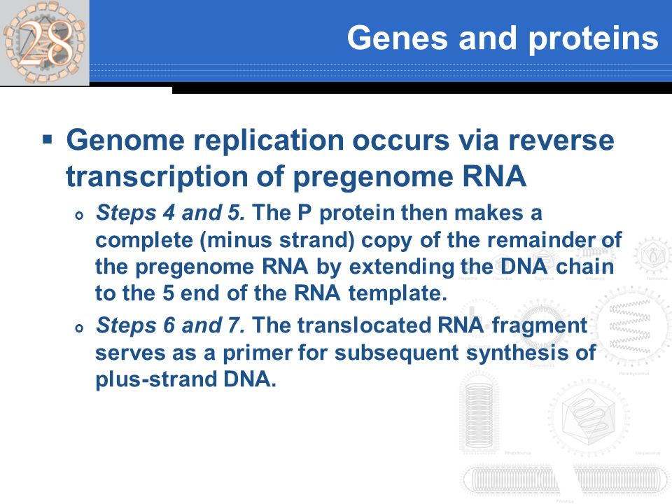 Genes and proteins Genome replication occurs via reverse transcription of pregenome RNA Steps 4 and 5. The P protein then makes a complete (minus stra