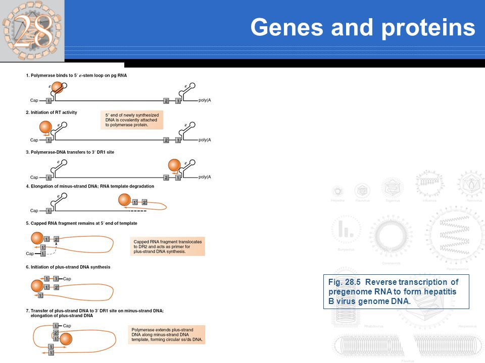 Genes and proteins Fig. 28.5 Reverse transcription of pregenome RNA to form hepatitis B virus genome DNA.