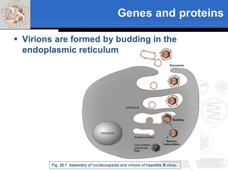 Genes and proteins Virions are formed by budding in the endoplasmic reticulum Fig. 28.7 Assembly of nucleocapsids and virions of hepatitis B virus.