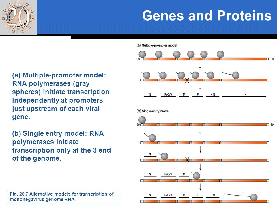 Genes and Proteins Fig. 20.7 Alternative models for transcription of mononegavirus genome RNA. (a) Multiple-promoter model: RNA polymerases (gray sphe