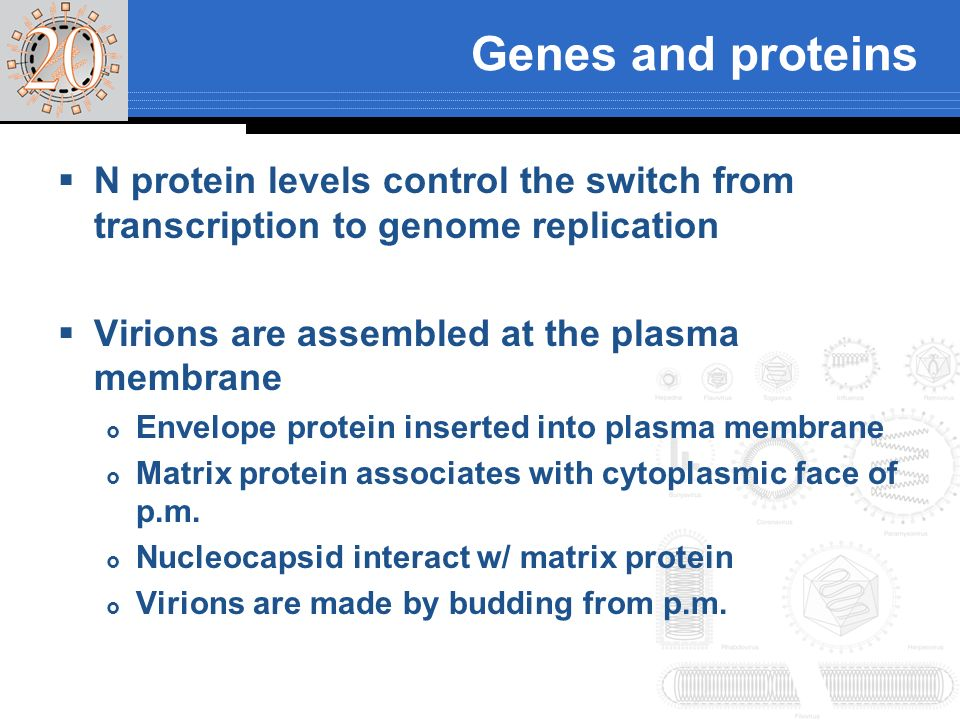 Genes and proteins N protein levels control the switch from transcription to genome replication Virions are assembled at the plasma membrane Envelope