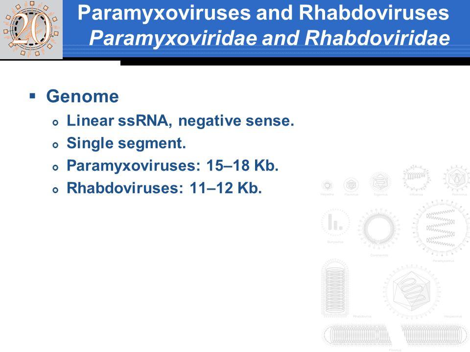 Genome Linear ssRNA, negative sense. Single segment. Paramyxoviruses: 15–18 Kb. Rhabdoviruses: 11–12 Kb. Paramyxoviruses and Rhabdoviruses Paramyxovir