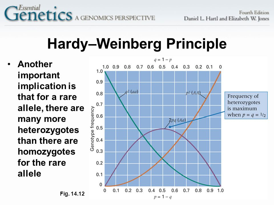 16 Hardy–Weinberg Principle Another important implication is that for a rare allele, there are many more heterozygotes than there are homozygotes for