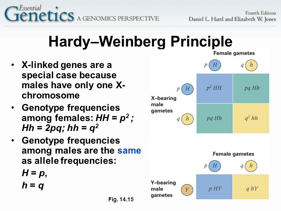 18 Hardy–Weinberg Principle X-linked genes are a special case because males have only one X- chromosome Genotype frequencies among females: HH = p 2 ;