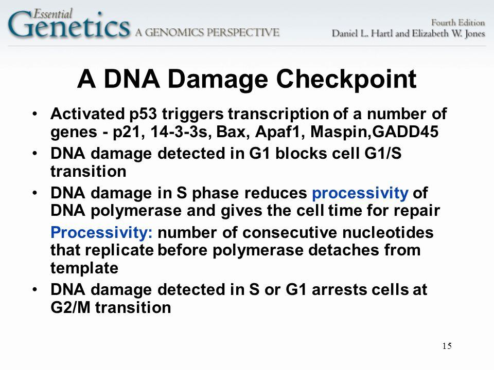 15 A DNA Damage Checkpoint Activated p53 triggers transcription of a number of genes - p21, 14-3-3s, Bax, Apaf1, Maspin,GADD45 DNA damage detected in