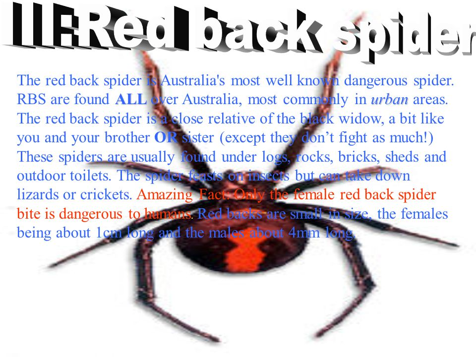ALL urban The red back spider is Australia s most well known dangerous spider.
