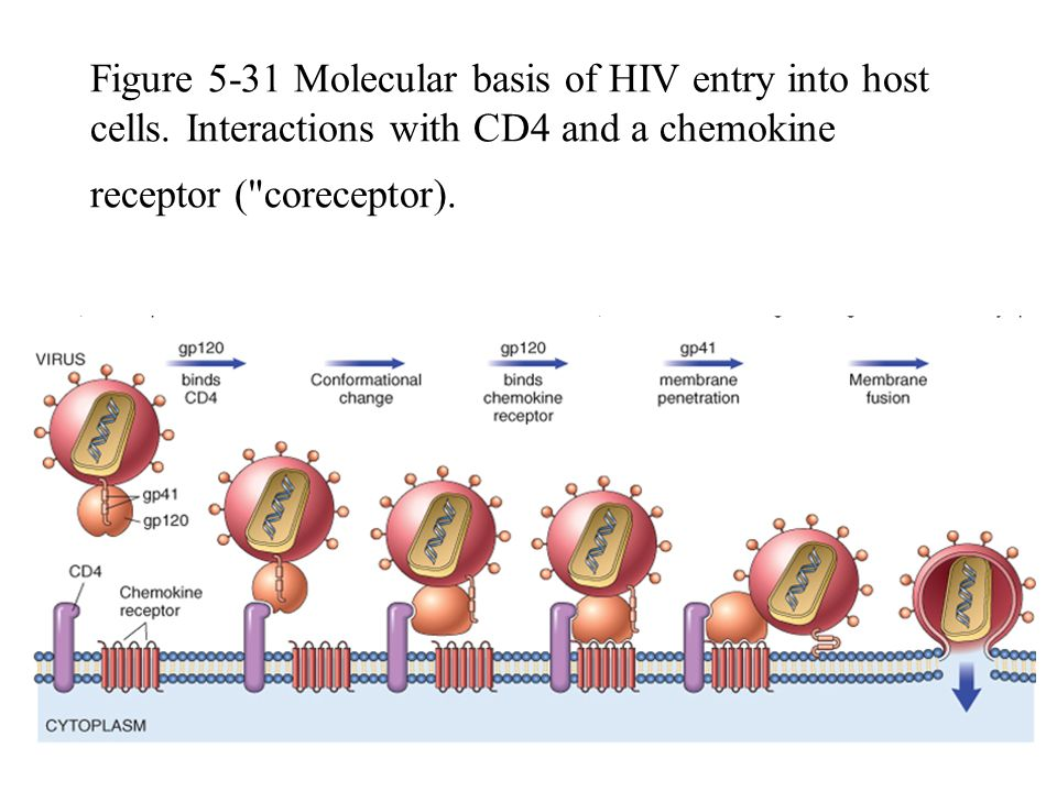 Figure 5-31 Molecular basis of HIV entry into host cells. Interactions with CD4 and a chemokine receptor (