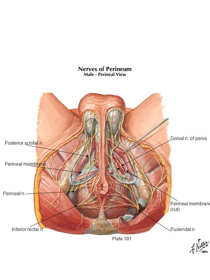 Plate 391 Inferior rectal n. Perineal n. Perineal membrane Posterior scrotal n. Dorsal n. of penis Perineal membrane (cut) Pudendal n.