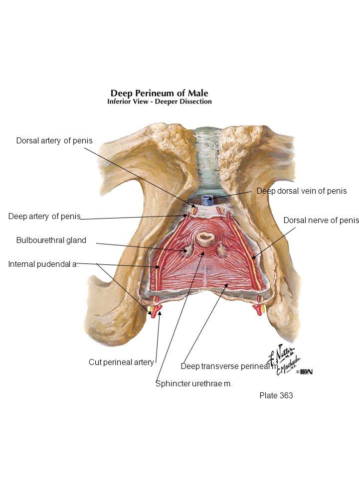 Plate 363 Deep transverse perineal m. Sphincter urethrae m. Internal pudendal a. Deep artery of penis Dorsal artery of penis Deep dorsal vein of penis