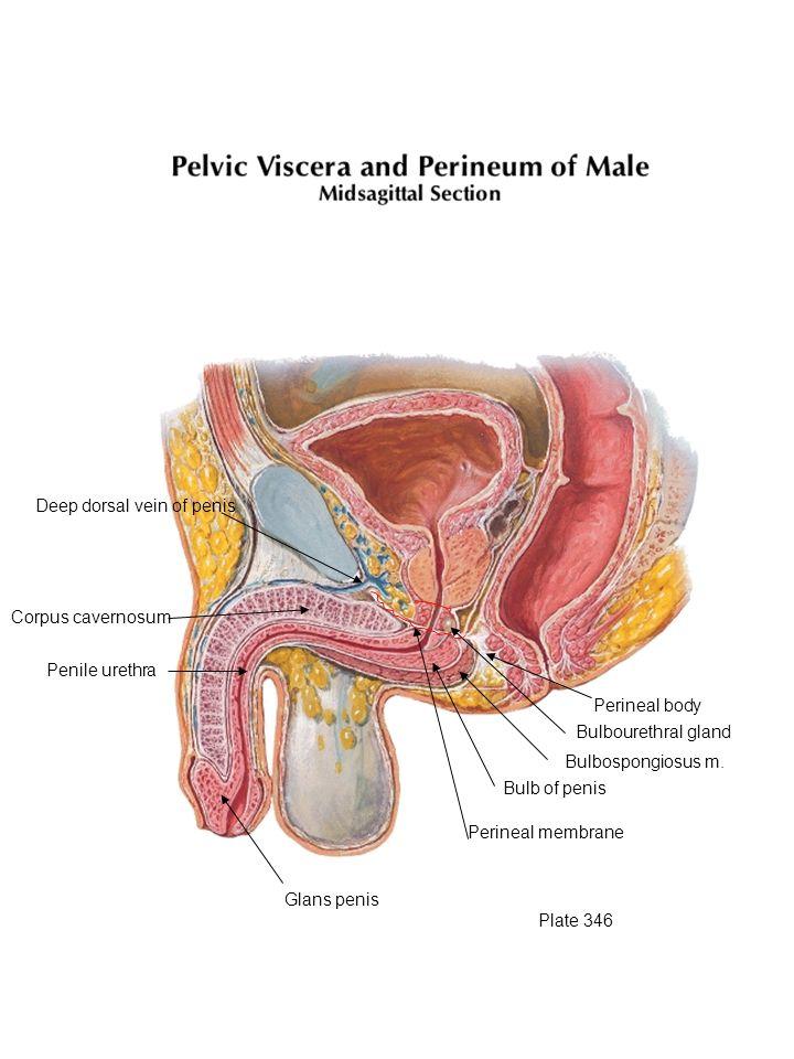 Glans penis Perineal membrane Bulb of penis Bulbospongiosus m. Bulbourethral gland Perineal body Deep dorsal vein of penis Corpus cavernosum Penile ur