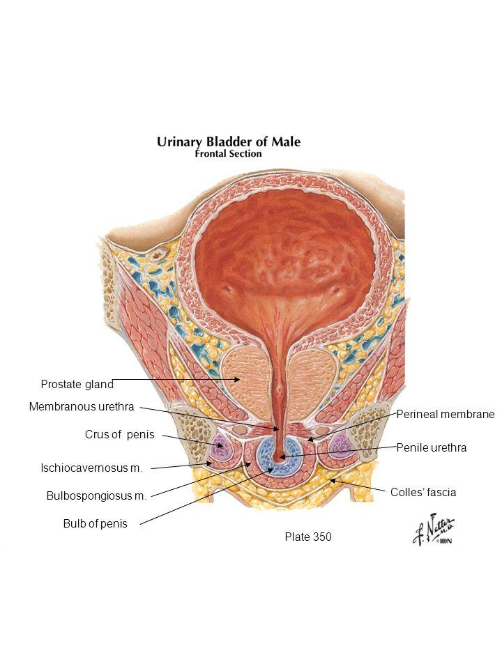 Plate 350 Prostate gland Membranous urethra Crus of penis Ischiocavernosus m. Bulbospongiosus m. Bulb of penis Colles fascia Penile urethra Perineal m