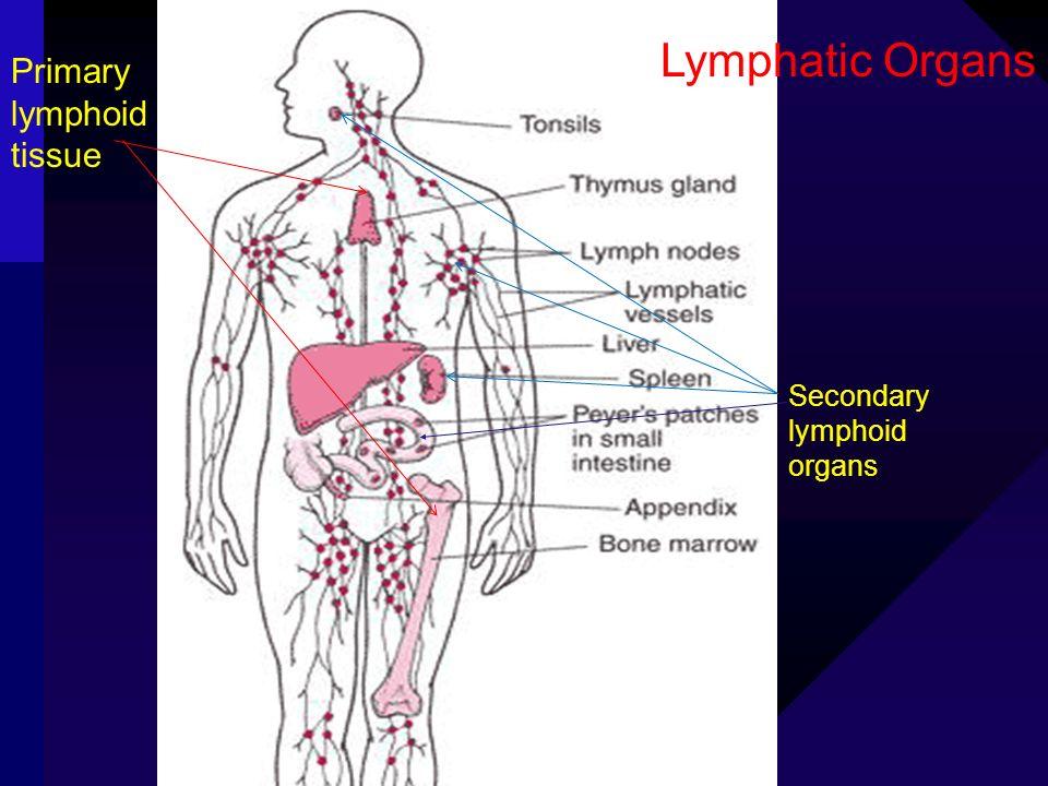 Secondary lymphoid organs Lymphatic Organs Primary lymphoid tissue