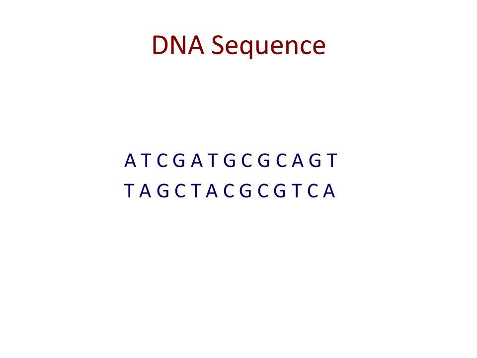 DNA Sequence A T C G A T G C G C A G T T A G C T A C G C G T C A