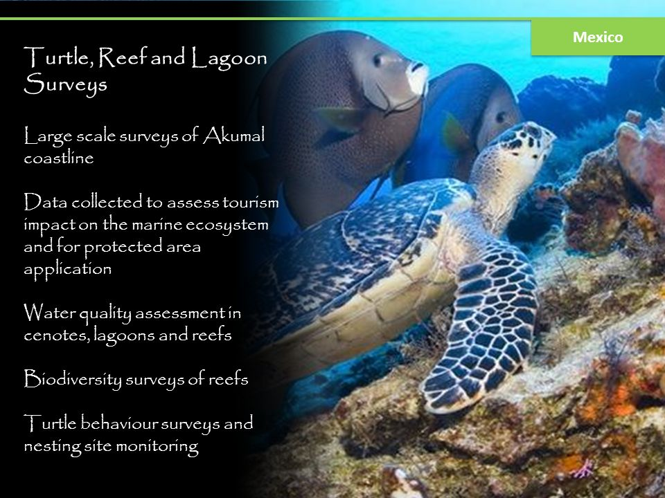 Turtle, Reef and Lagoon Surveys Large scale surveys of Akumal coastline Data collected to assess tourism impact on the marine ecosystem and for protec