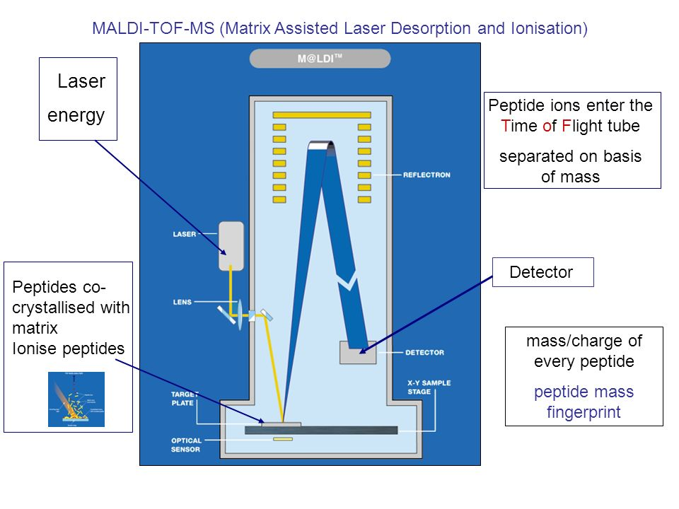 Laser energy Peptide ions enter the Time of Flight tube separated on basis of mass Peptides co- crystallised with matrix Ionise peptides Detector mass