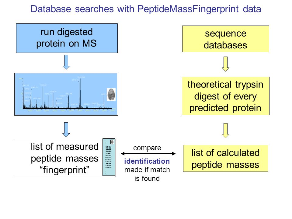 run digested protein on MS Database searches with PeptideMassFingerprint data sequence databases theoretical trypsin digest of every predicted protein