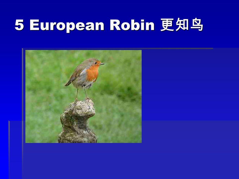 5 European Robin 5 European Robin