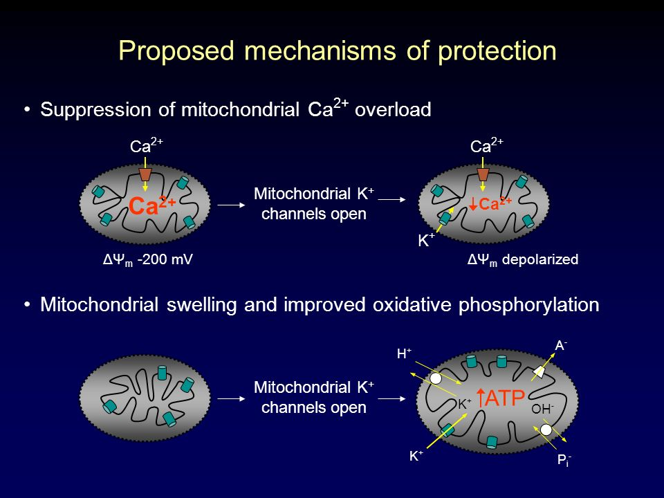 Suppression of mitochondrial Ca 2+ overload Proposed mechanisms of protection ΔΨ m -200 mVΔΨ m depolarized Ca 2+ Mitochondrial K + channels open Ca 2+ K+K+ Mitochondrial swelling and improved oxidative phosphorylation ATP Mitochondrial K + channels open H+H+ A-A- Pi-Pi- K+K+ K+K+ OH -