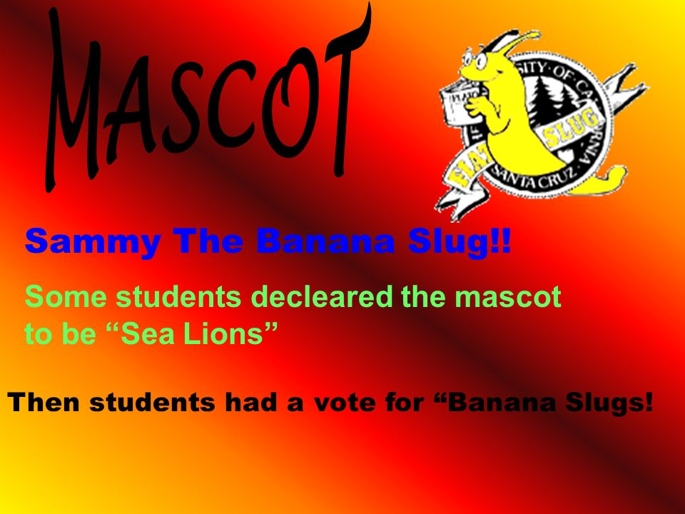 Sammy The Banana Slug!! Some students decleared the mascot to be Sea Lions Then students had a vote for Banana Slugs!