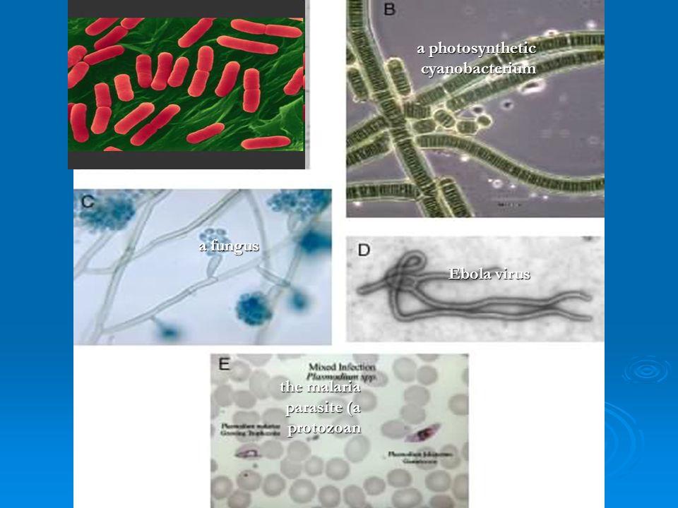 the Bacterium Escherichia coli; a photosynthetic cyanobacterium a fungus Ebola virus the malaria parasite (a protozoan