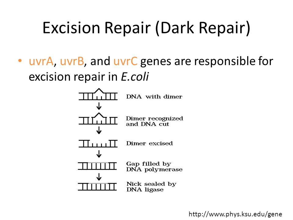 Excision Repair (Dark Repair) uvrA, uvrB, and uvrC genes are responsible for excision repair in E.coli http://www.phys.ksu.edu/gene